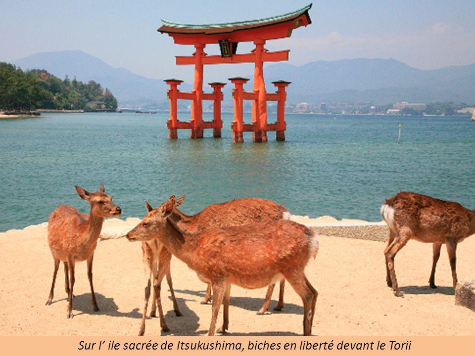 Sur l' ile sacrée de Itsukushima, biches en liberté devant le Torii