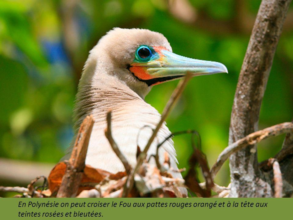 En Polynésie on peut croiser le Fou aux pattes rouges orangé et à la tête aux teintes rosées et bleutées.