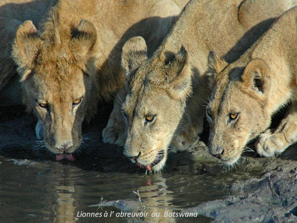 Lionnes à l' abreuvoir au Botswana