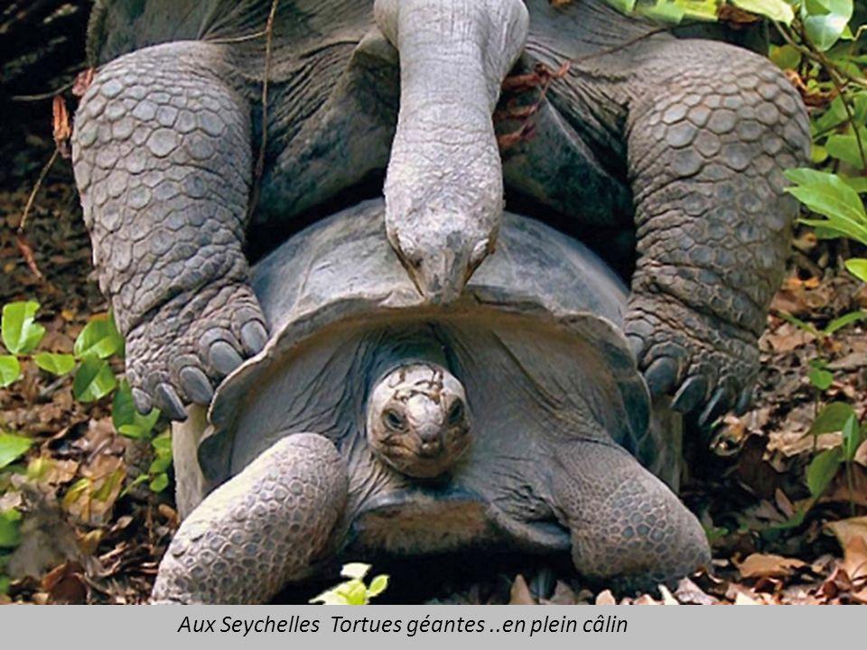 Aux Seychelles Tortues géantes ..en plein câlin