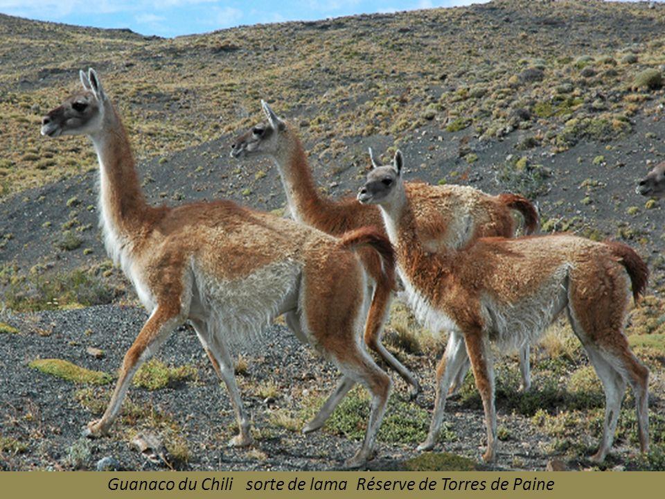 Guanaco du Chili sorte de lama Réserve de Torres de Paine