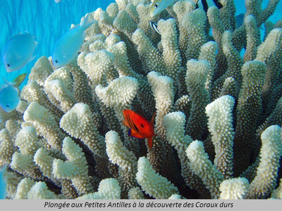 Plongée aux Petites Antilles à la découverte des Coraux durs