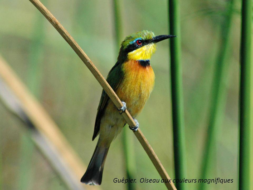 Guêpier. Oiseau aux couleurs magnifiques