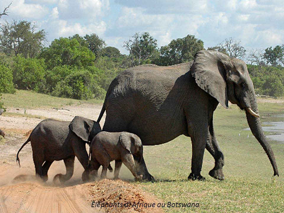 Éléphants d' Afrique au Botswana