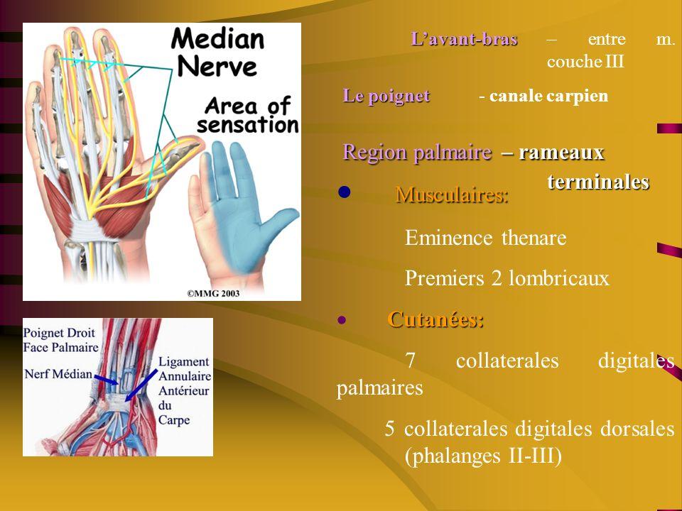 · Musculaires: Eminence thenare Premiers 2 lombricaux · Cutanées: