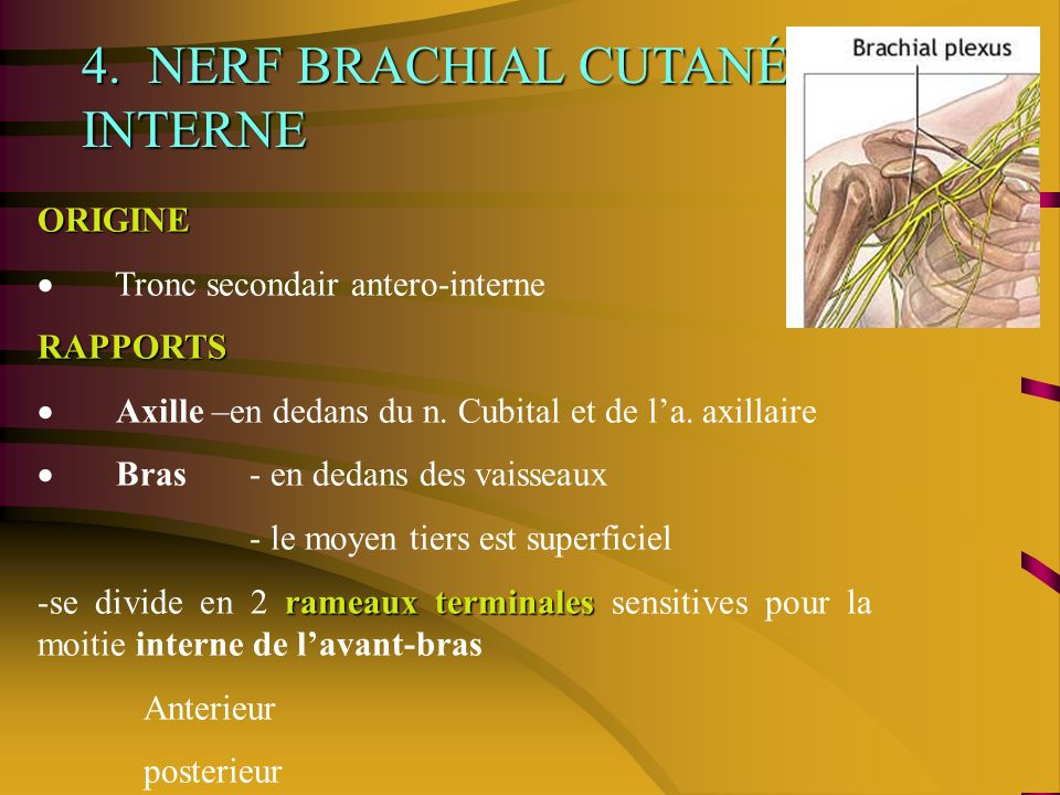 4. NERF BRACHIAL CUTANÉ INTERNE