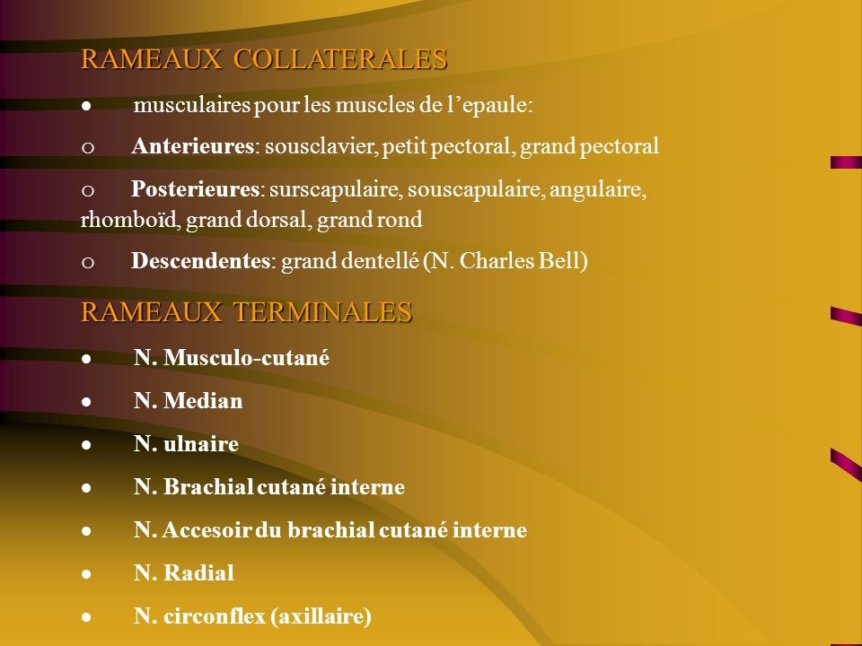 RAMEAUX COLLATERALES RAMEAUX TERMINALES