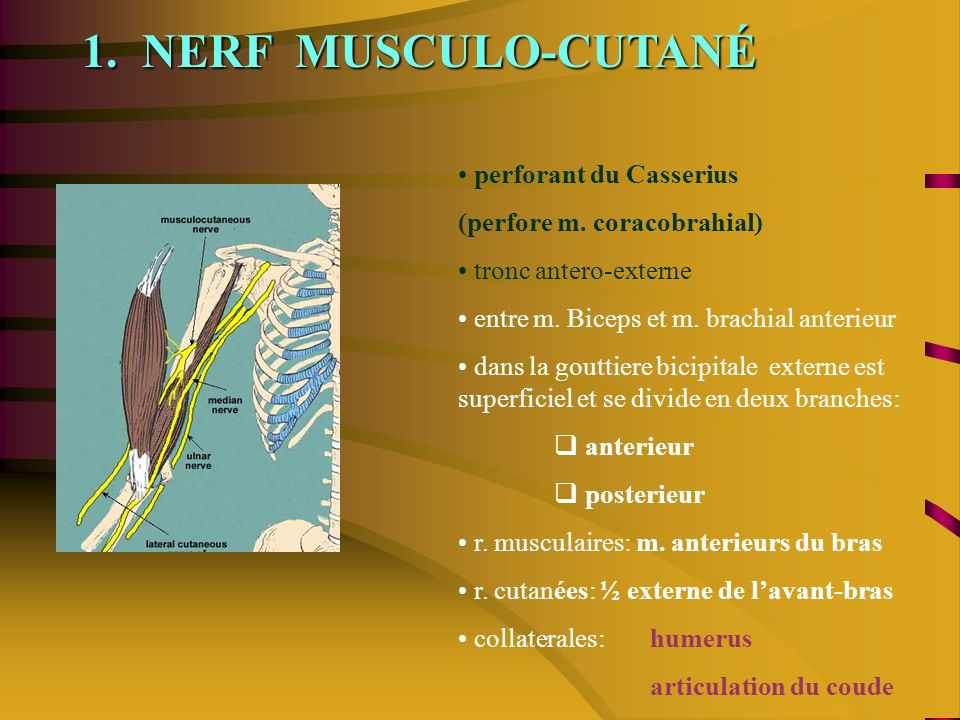1. NERF MUSCULO-CUTANÉ perforant du Casserius