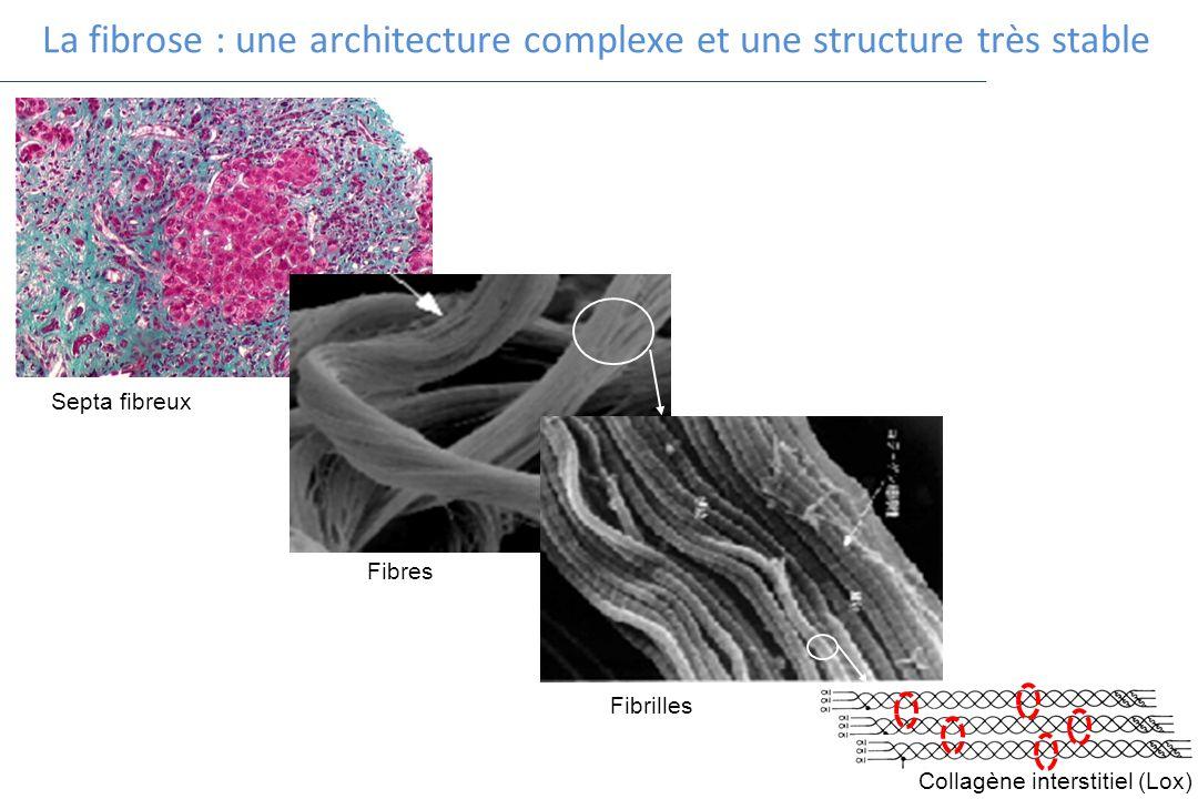 La fibrose : une architecture complexe et une structure très stable