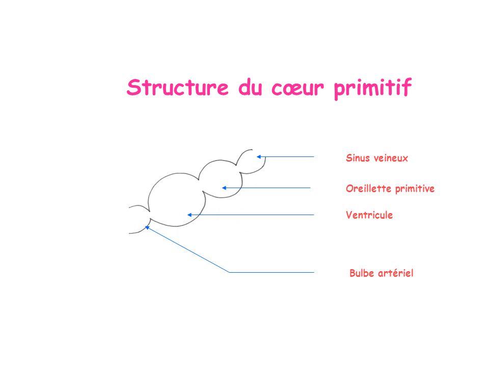 Structure du cœur primitif