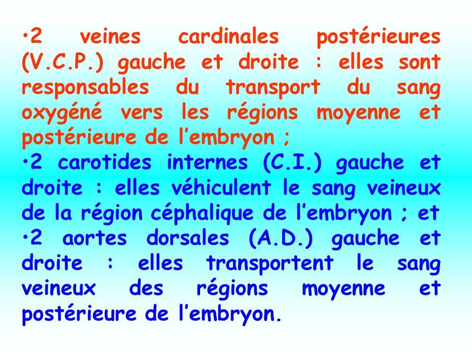 2 veines cardinales postérieures (V. C. P