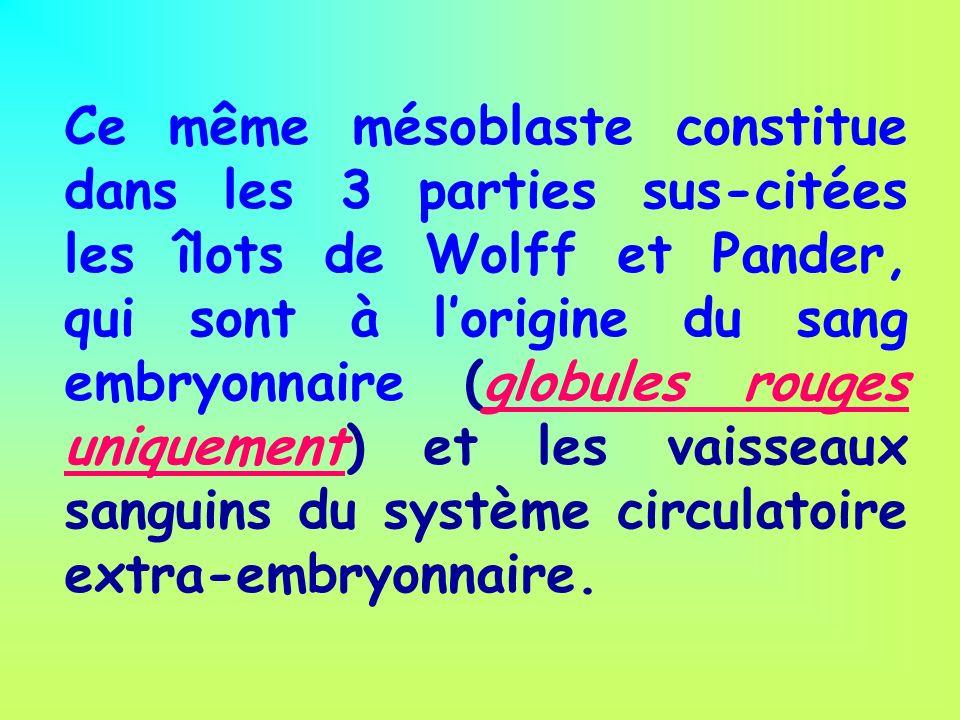 Ce même mésoblaste constitue dans les 3 parties sus-citées les îlots de Wolff et Pander, qui sont à l'origine du sang embryonnaire (globules rouges uniquement) et les vaisseaux sanguins du système circulatoire extra-embryonnaire.