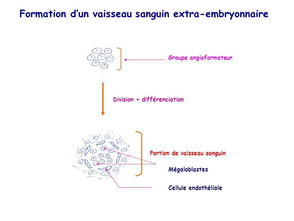 Groupe angioformateur