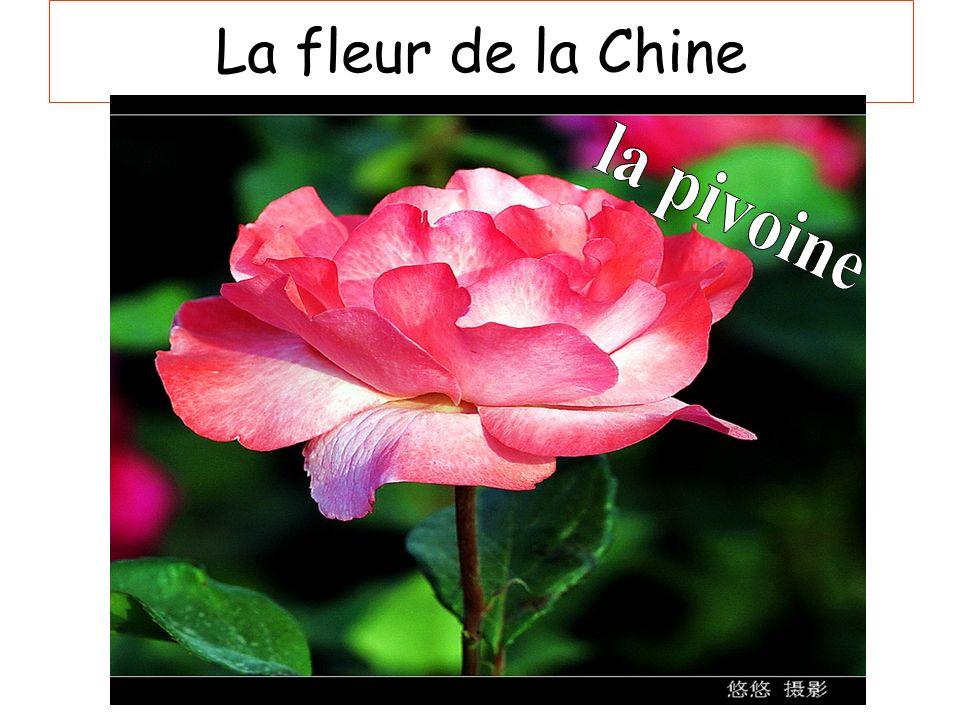 La fleur de la Chine la pivoine