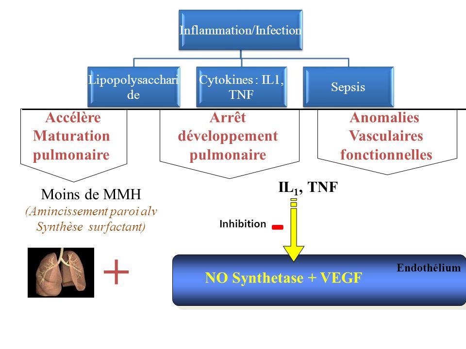 - + Accélère Maturation pulmonaire Arrêt développement pulmonaire