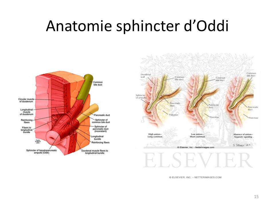 Anatomie sphincter d'Oddi