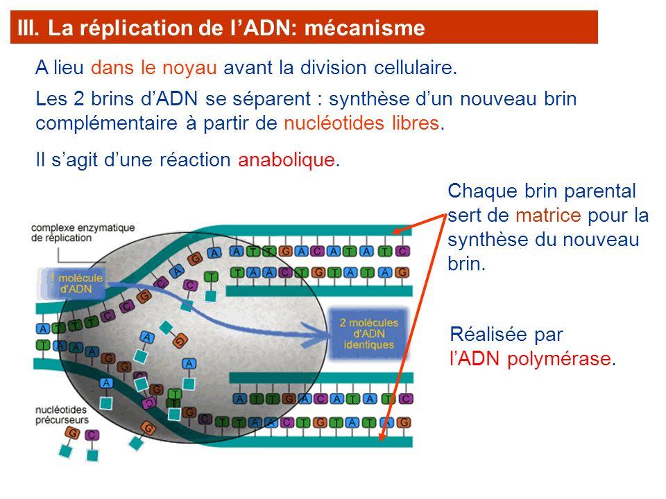 III. La réplication de l'ADN: mécanisme