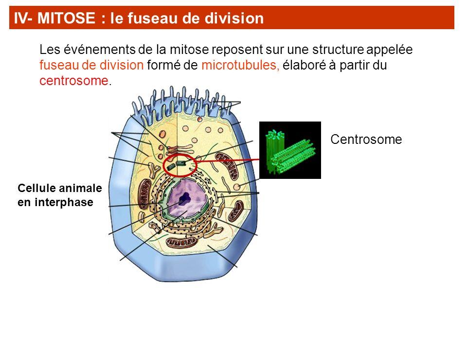 IV- MITOSE : le fuseau de division