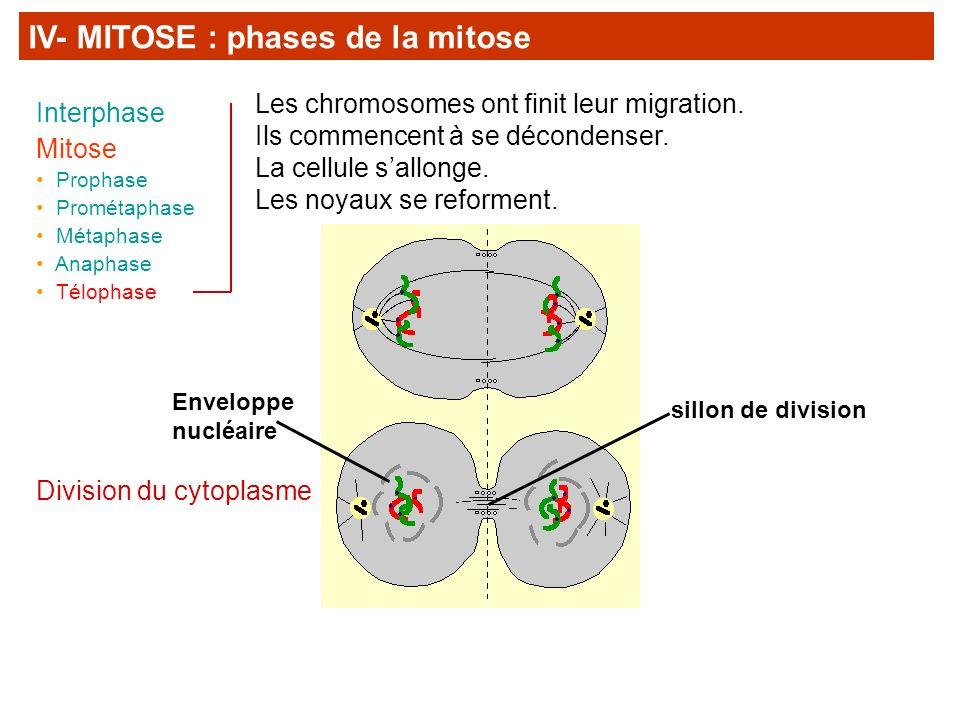 IV- MITOSE : phases de la mitose