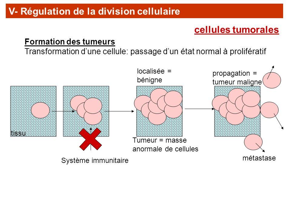 V- Régulation de la division cellulaire
