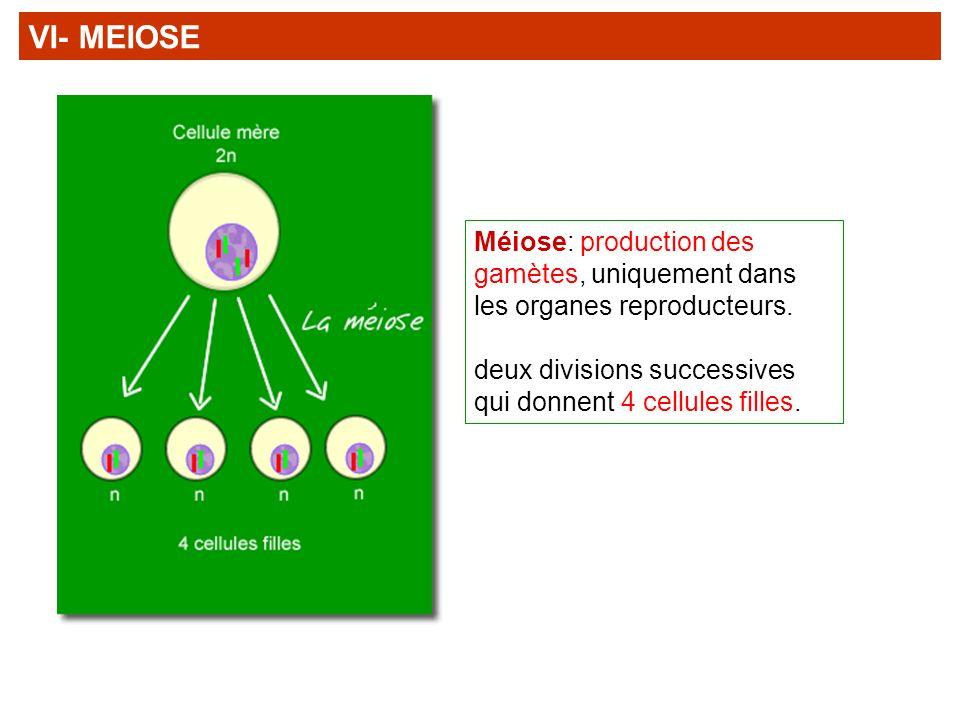 VI- MEIOSE Méiose: production des gamètes, uniquement dans les organes reproducteurs.