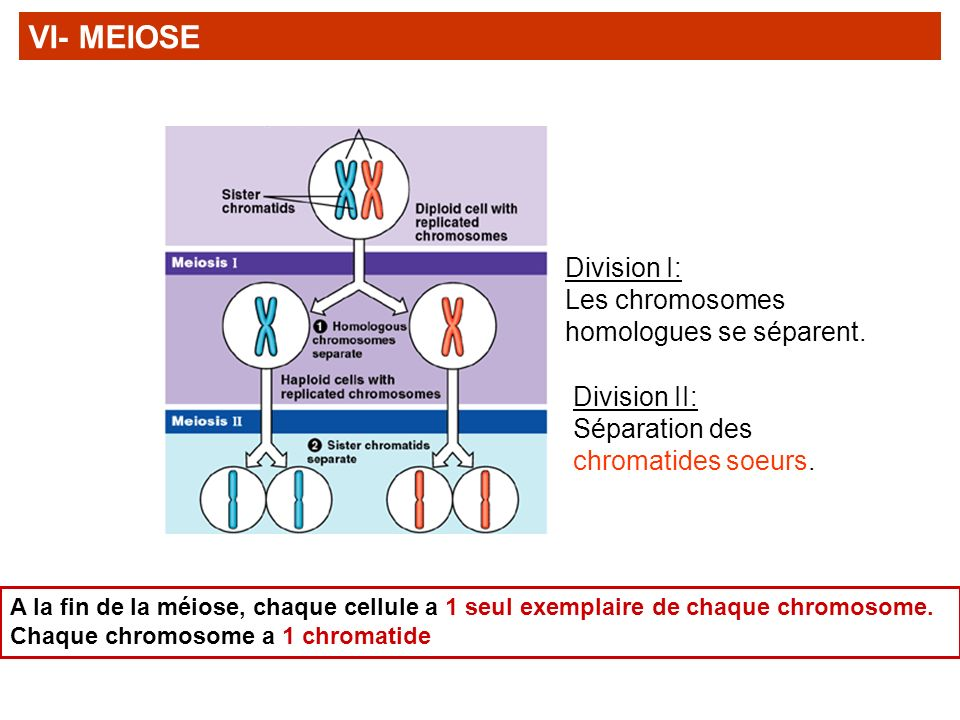 VI- MEIOSE Division I: Les chromosomes homologues se séparent.