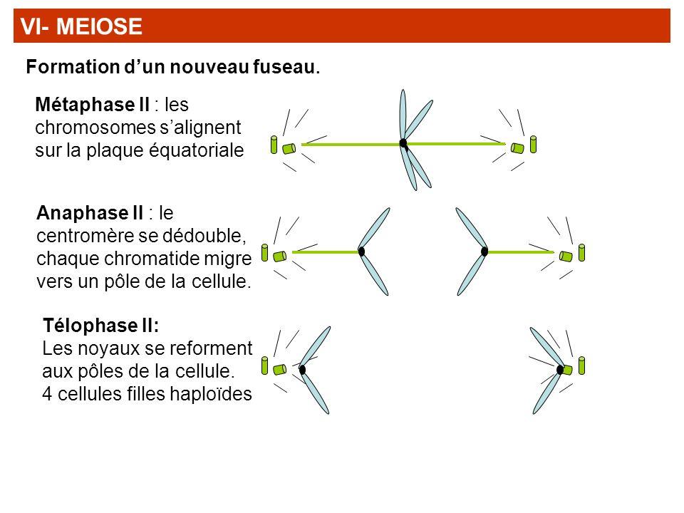 VI- MEIOSE Formation d'un nouveau fuseau.
