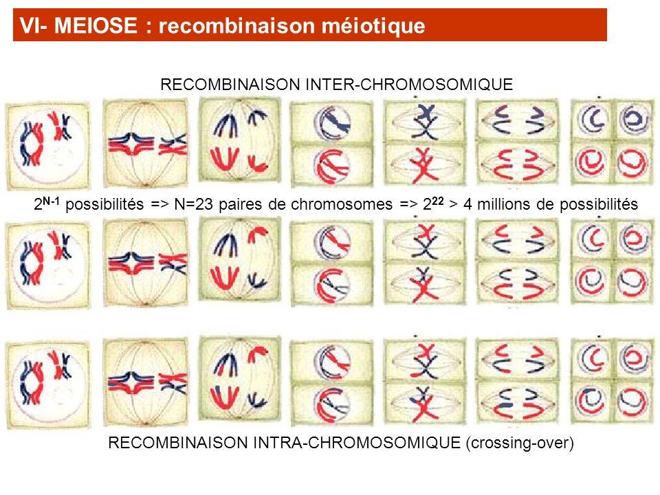 VI- MEIOSE : recombinaison méiotique