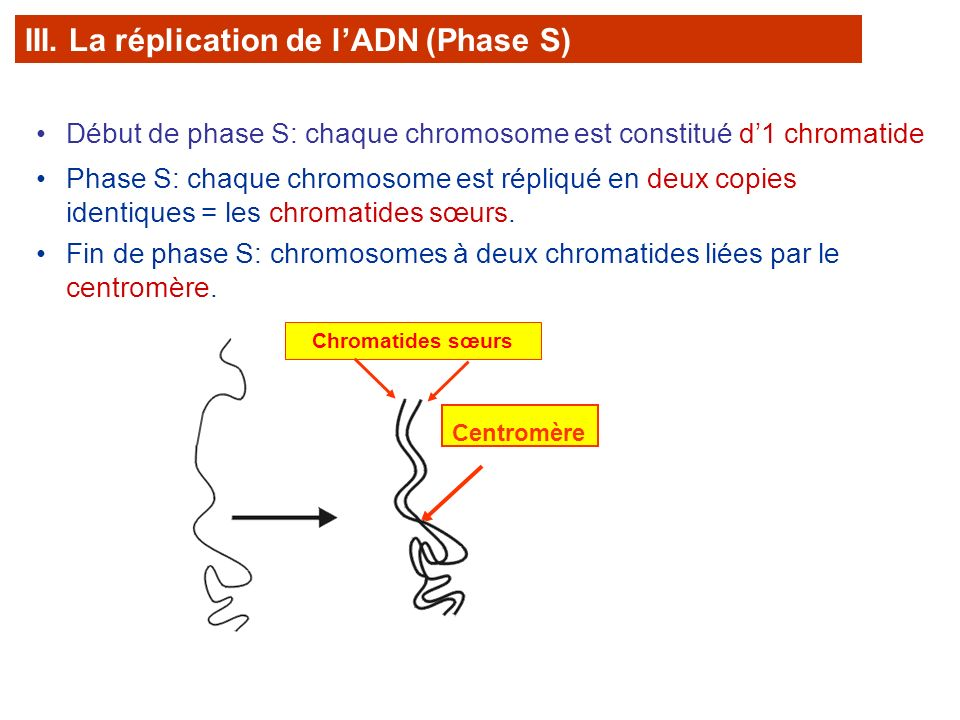 III. La réplication de l'ADN (Phase S)