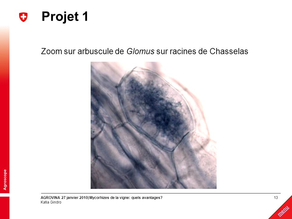 Projet 1 Zoom sur arbuscule de Glomus sur racines de Chasselas