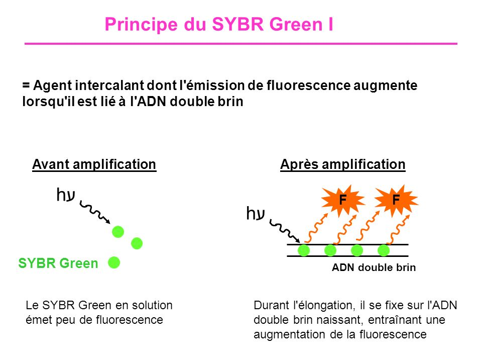 Principe du SYBR Green I