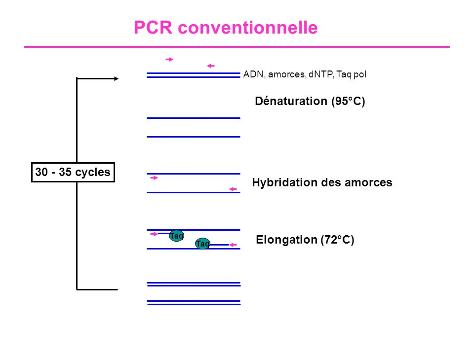 PCR conventionnelle Dénaturation (95°C) 30 - 35 cycles