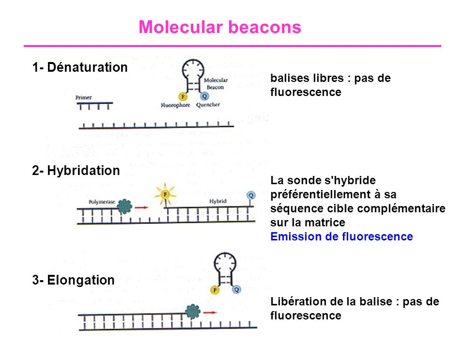 Molecular beacons 1- Dénaturation 2- Hybridation 3- Elongation