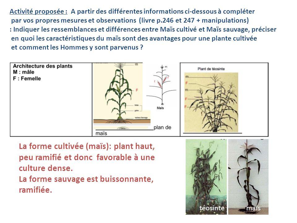 La forme cultivée (maïs): plant haut,