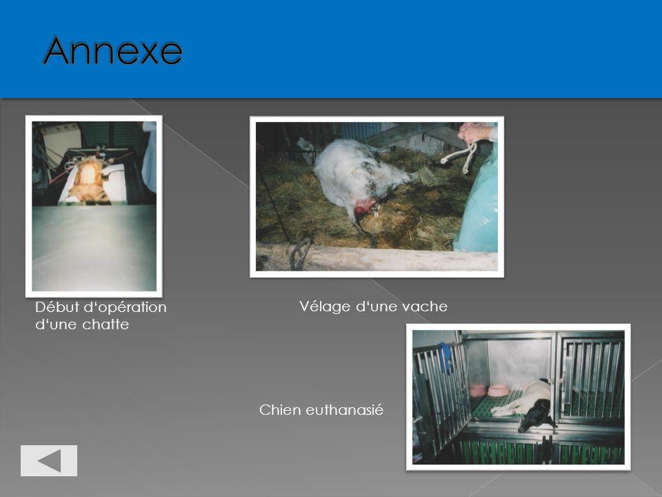 Annexe Annexe Début d'opération d'une chatte Vélage d'une vache