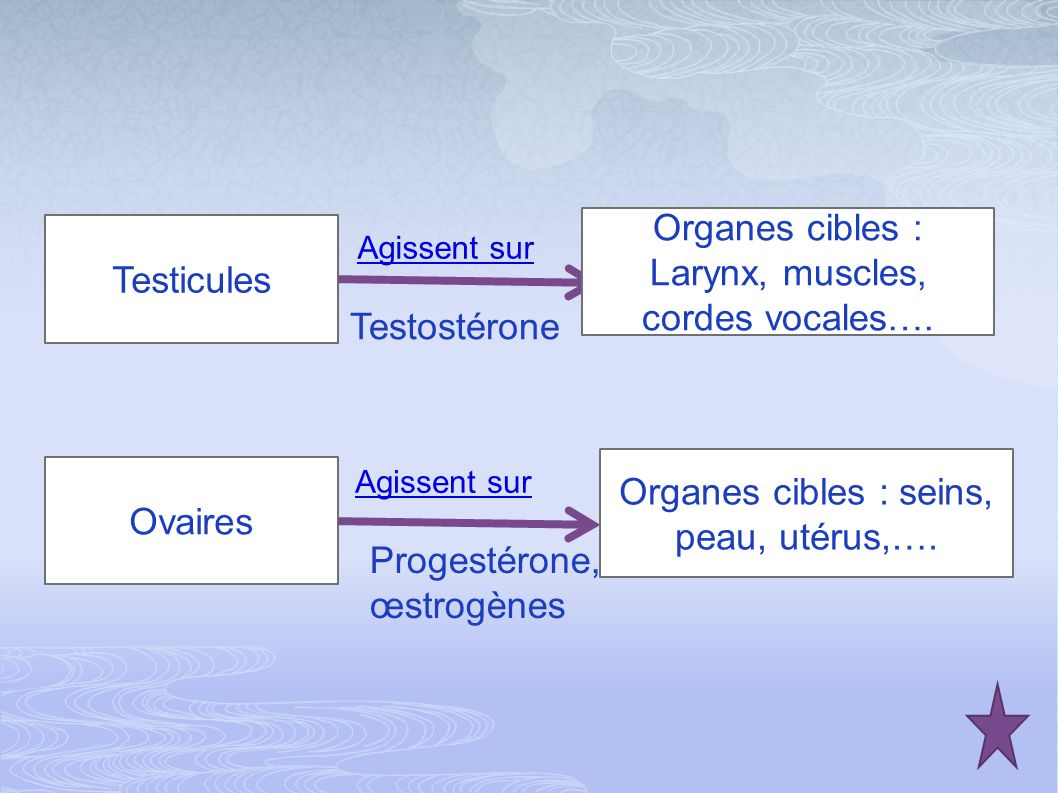 Organes cibles : Larynx, muscles, cordes vocales…. Testicules