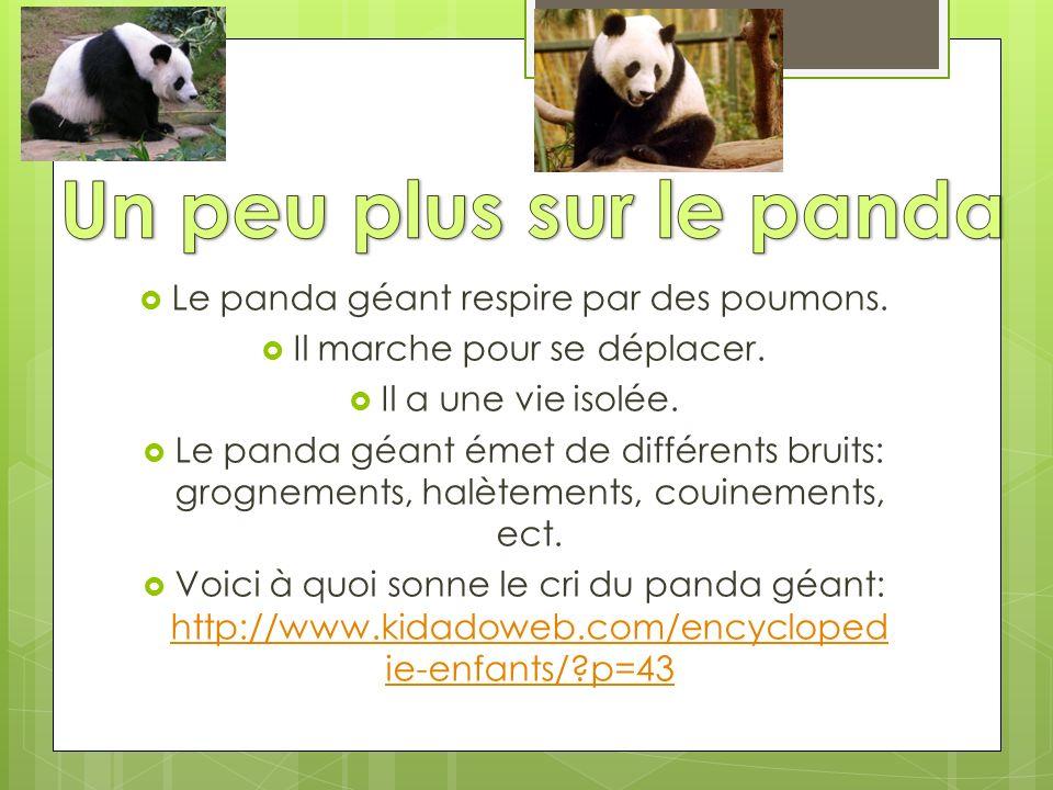 Un peu plus sur le panda Le panda géant respire par des poumons.