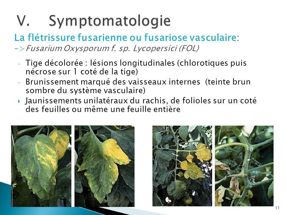 Symptomatologie La flétrissure fusarienne ou fusariose vasculaire: ->Fusarium Oxysporum f. sp. Lycopersici (FOL)