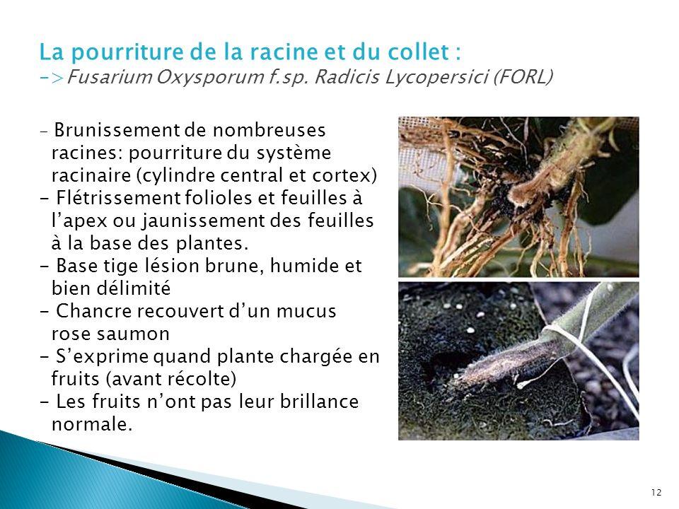 La pourriture de la racine et du collet : ->Fusarium Oxysporum f.sp. Radicis Lycopersici (FORL)