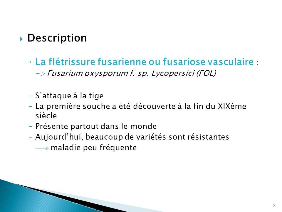 Description La flétrissure fusarienne ou fusariose vasculaire :