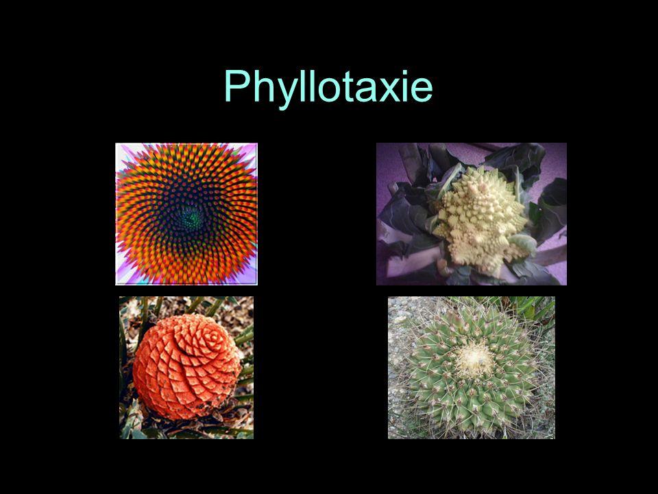 Phyllotaxie Marguerite, choux Romanesco, pomme de pin, cactus - aussi: ananas, tournesol. Peter S. Stevens. Les formes dans la nature. Seuil, 1978.