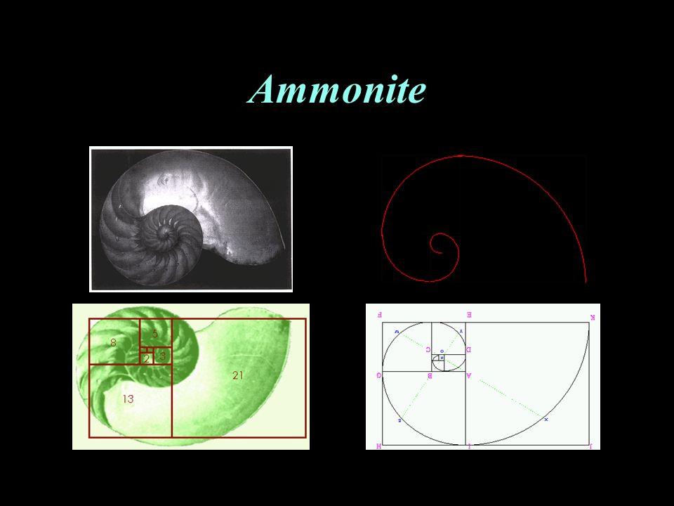 Ammonite L'enroulement régulier d'une ammonite se fait selon une spirale logarithmique