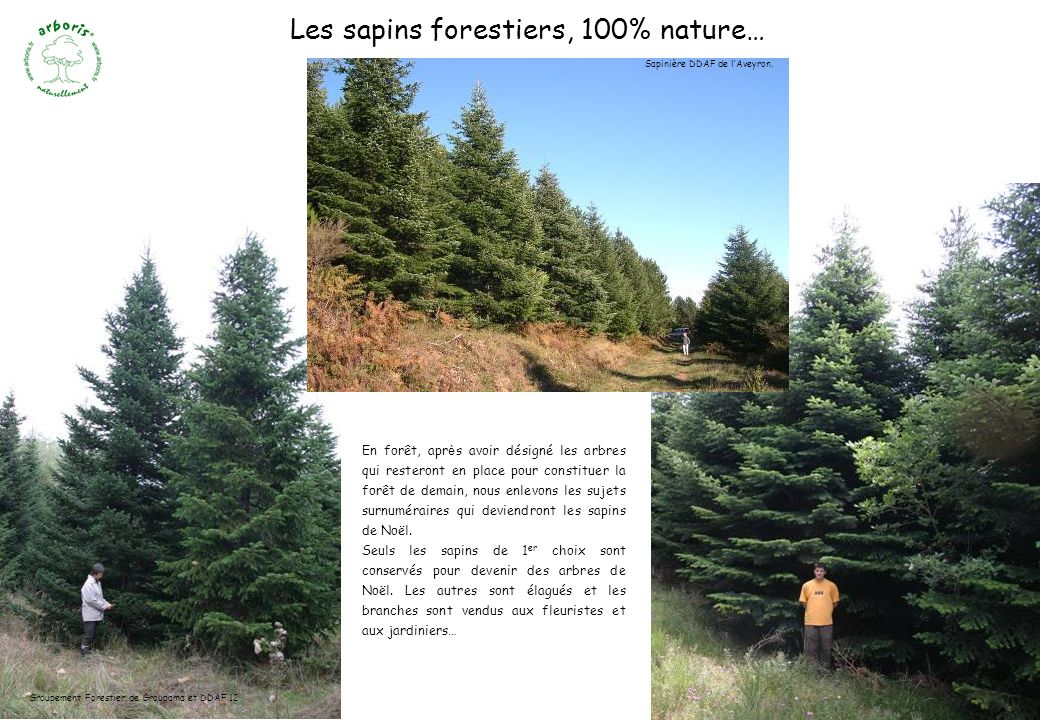 Les sapins forestiers, 100% nature…