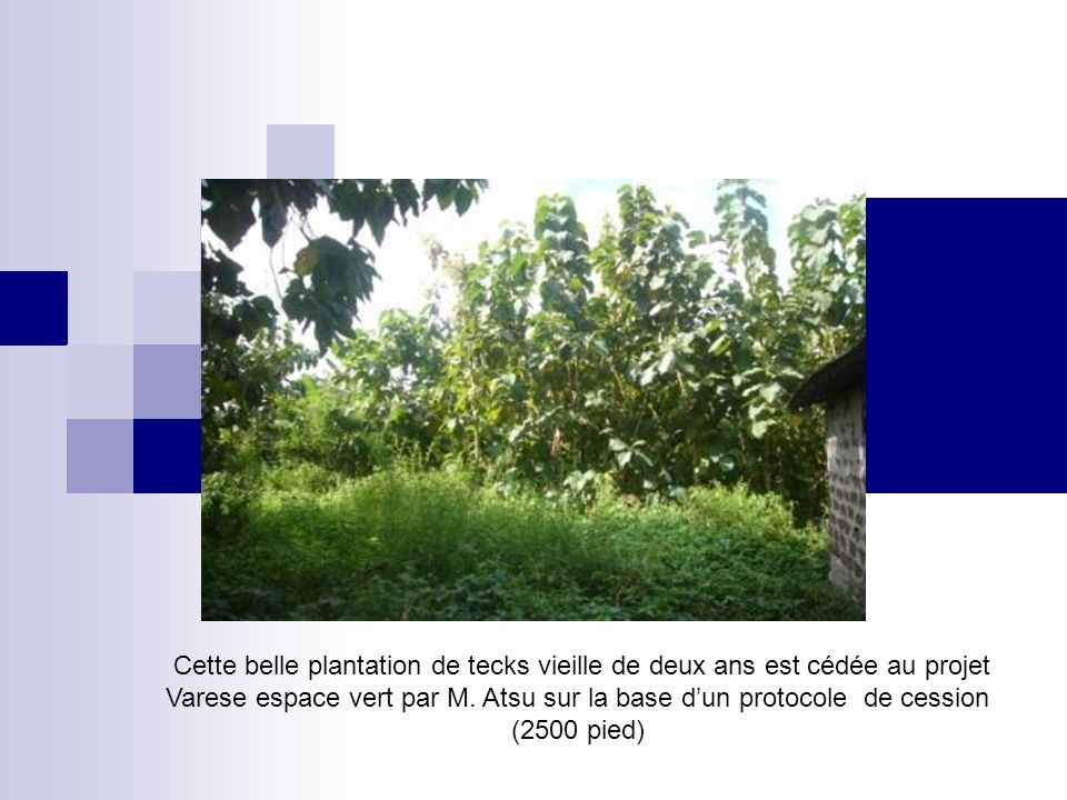 Cette belle plantation de tecks vieille de deux ans est cédée au projet Varese espace vert par M.