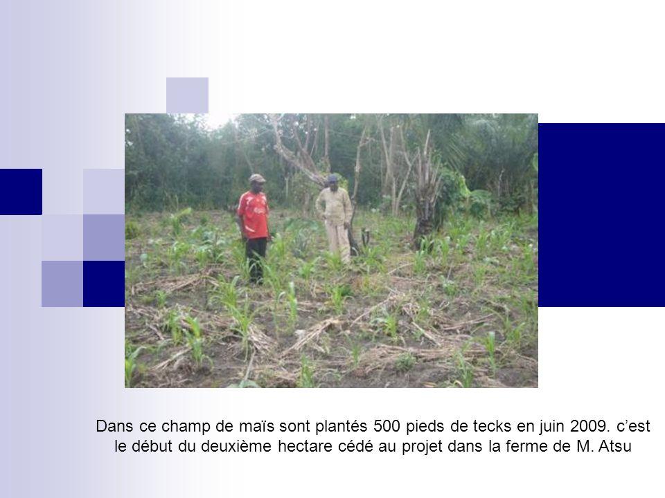 Dans ce champ de maïs sont plantés 500 pieds de tecks en juin 2009