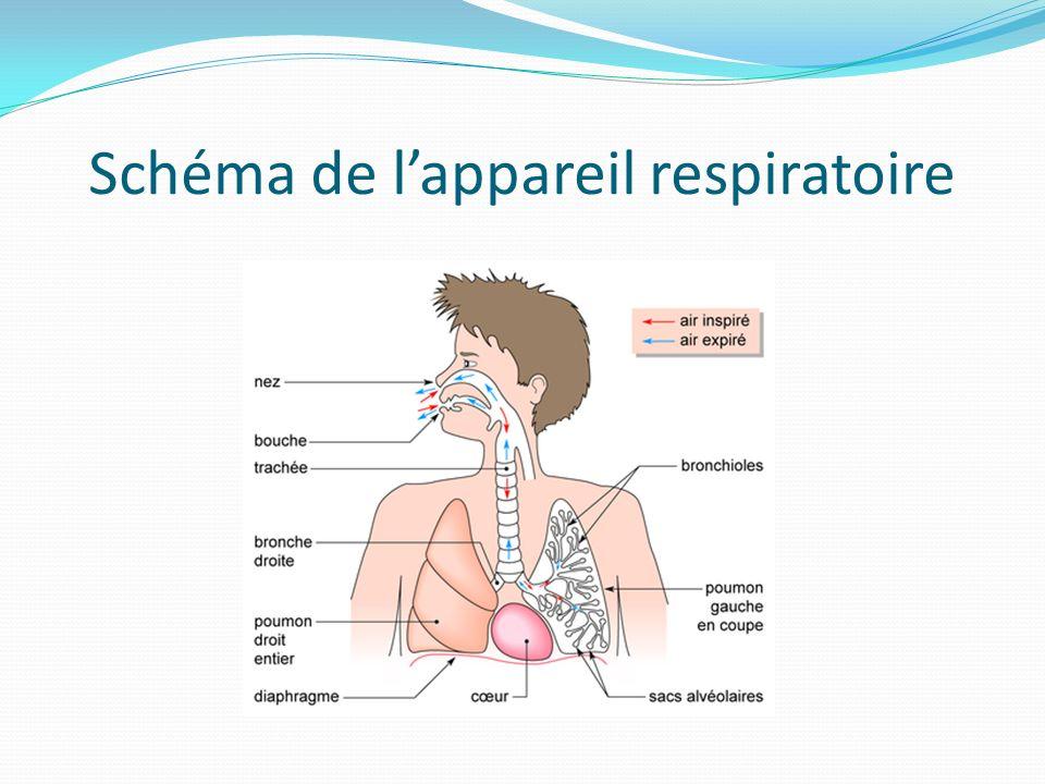 Schéma de l'appareil respiratoire