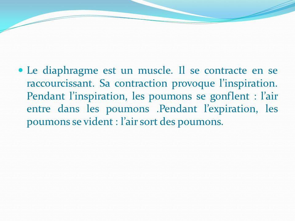 Le diaphragme est un muscle. Il se contracte en se raccourcissant