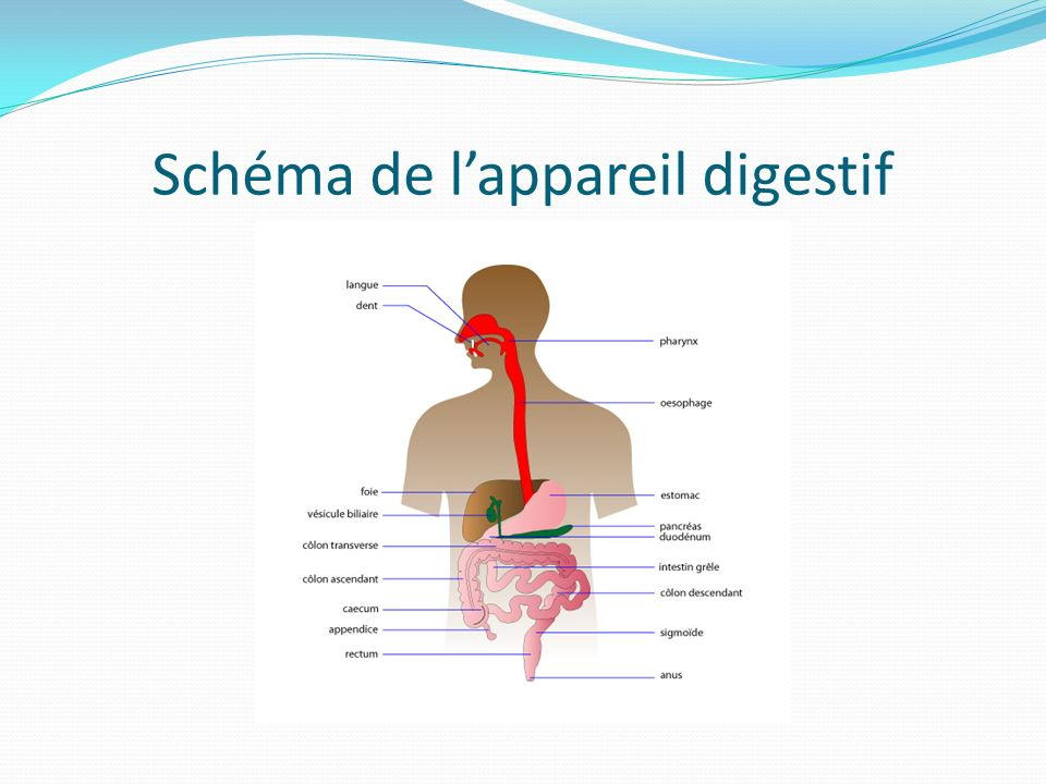 Schéma de l'appareil digestif