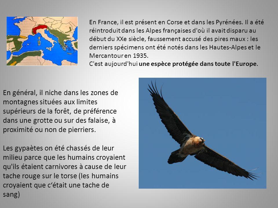En France, il est présent en Corse et dans les Pyrénées