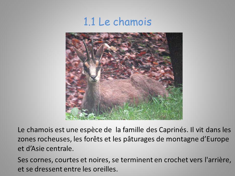 1.1 Le chamois